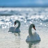 Праздник встречи лебедей