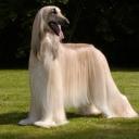 Охотничья порода собак. Похожа на Салюки, c более густой шерстью. Впервые была привезена на Запад в конце XIX века английскими офицерами, которые служили на индийско-афганской границе. Собака имеет рост в холке около 70 см, длинную шелковистую шерсть.