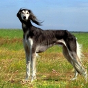 Русская псовая борзая — порода охотничьих собак, по классификации пород МКФ относящаяся к 10 группе «Борзые». Своё название «псовые» русские борзые получили от слова «псовина», то есть волнистая шелковистая шерсть.