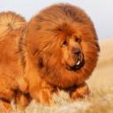 Тибетский мастиф является одной из древнейших рабочих пород собак, которая была сторожевой собакой в тибетских монастырях, а также помогала кочевникам в Гималайских горах.