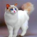 Рэгдо́лл — порода крупных полудлинношёрстных кошек.