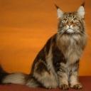 """Мейн-ку́н — порода кошек, которая произошла от кошек штата Мэн в Северо-Восточной Америке. Аборигенная порода кошек Северной Америки.[1] Название """"maine coon"""" переводится как """"Мэнский енот"""", отсюда происходит второе название этой породы"""