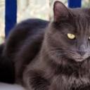 Нибелунг  — редкая порода домашних кошек. Она считается длинношёрстным вариантом русской голубой кошки.