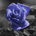 Blue-Rose-wallpaper-1366x768